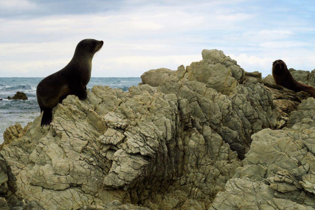Petits phoques de Nouvelle-Zélande